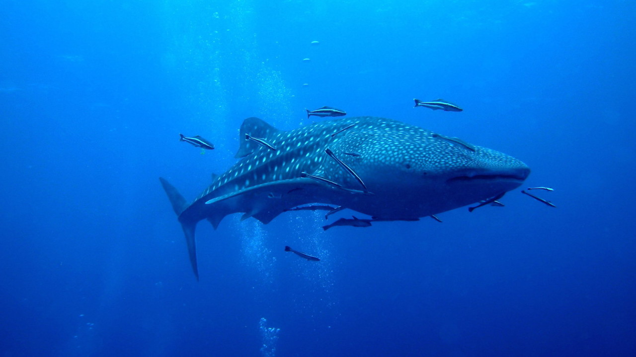 Recreational Scuba Diving - Whale Shark at Similan Islands Thailand