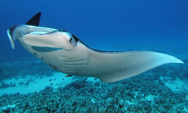 Recreationa Scuba Diving - Manta Ray in Thailand