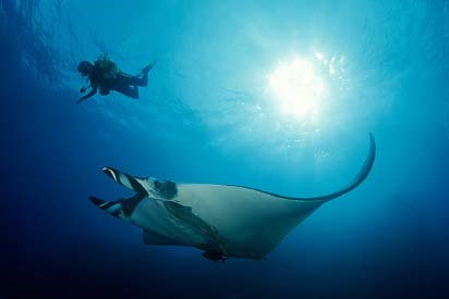 Diving in Similan Islands - Manta Ray