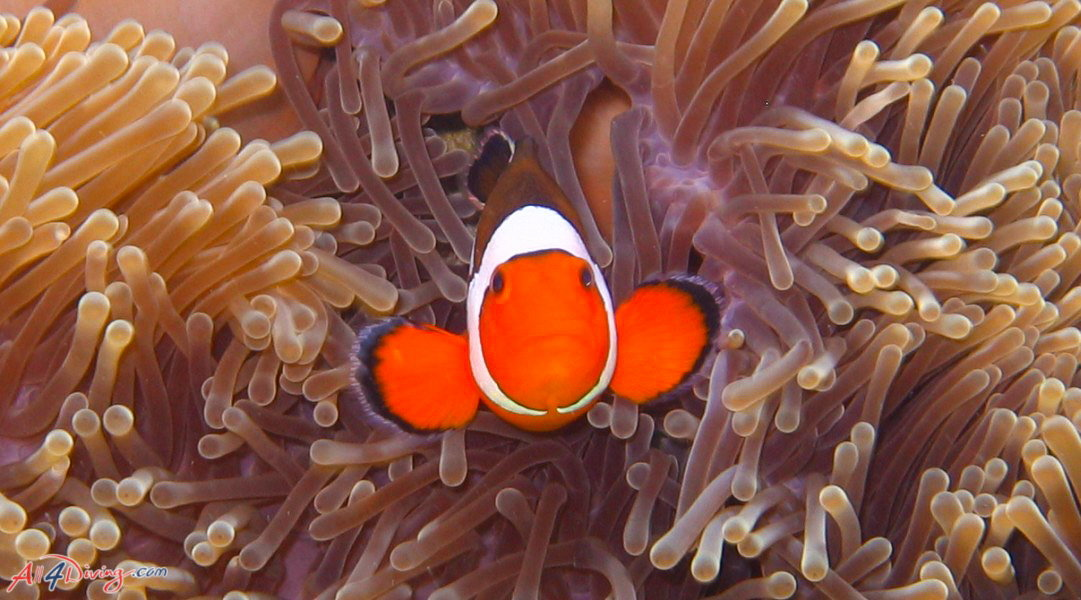Scuba diving Phuket - Clown Fish at Racha Yai