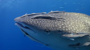 Diving in Similan Islands - Whale Shark