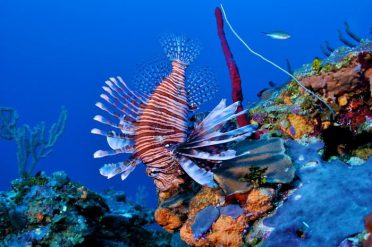 Lion Fish in corals