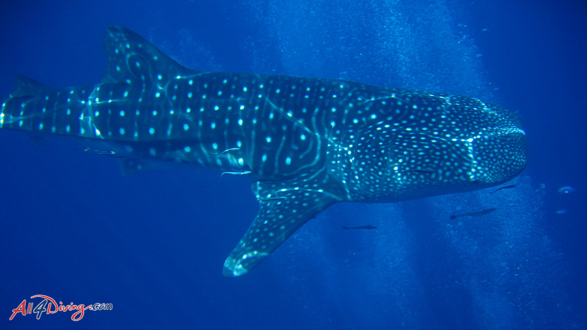 Scuba Diving Specialties - Fish ID Whale Shark