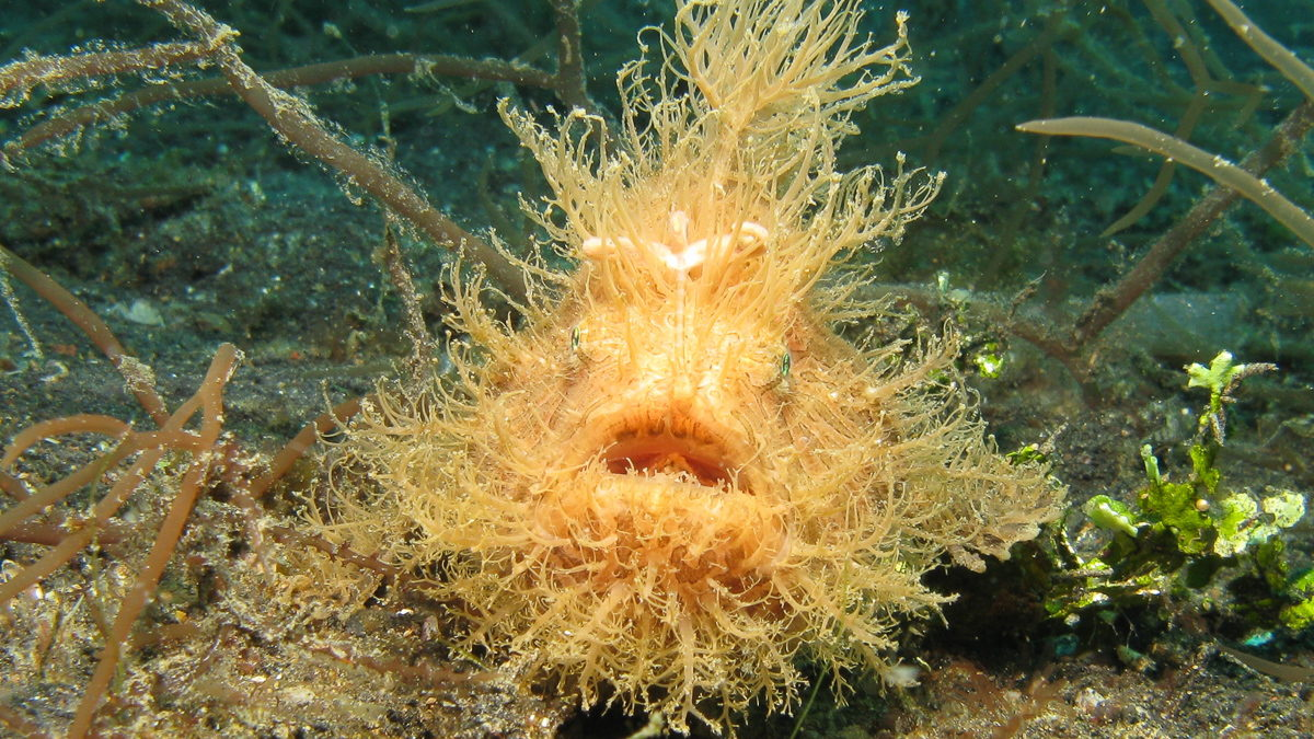 Frogfish underwater photo 04
