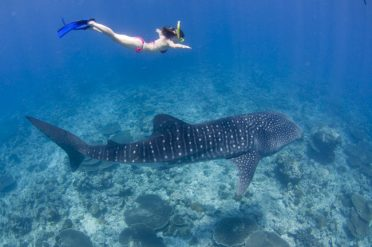 Scuba diving Phuket - great encounter with whale shark