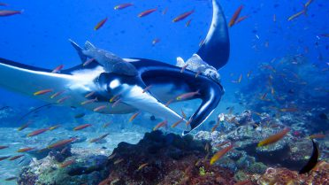 Similan Islands Liveaboard Diving - manta ray