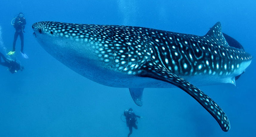 Hin Daeng Diving - Divers with Whale Shark