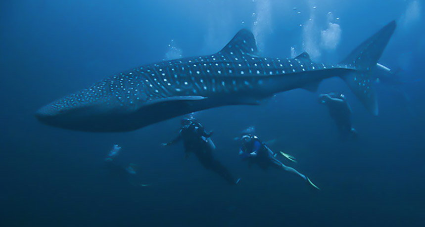 Hin Daeng Diving - Scuba Divers with Whale Shark