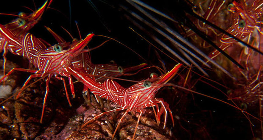 Hin Muang Diving - Cleaner Shrimps