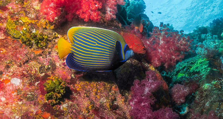 Hin Muang Diving - Emperor Angelfish