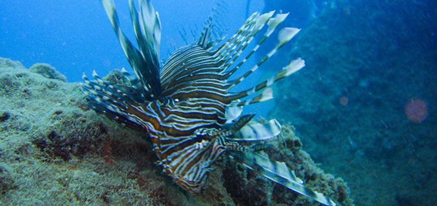King Cruiser Wreck diving - Lionfish
