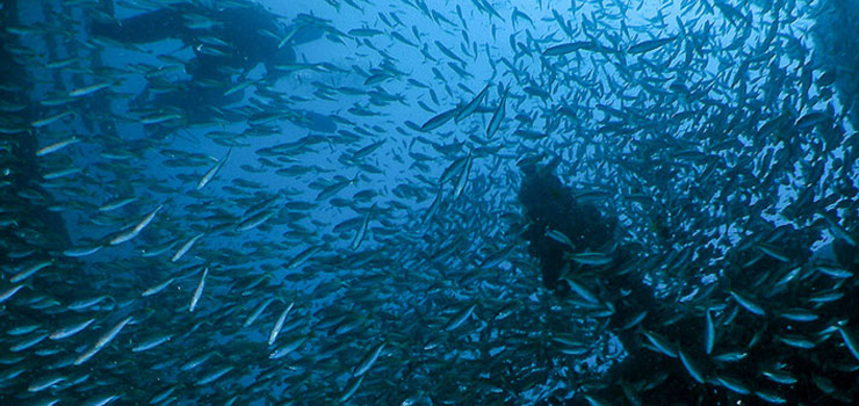 King Cruiser Wreck diving - Schools of fishes