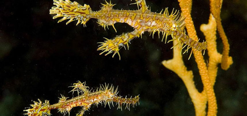 Koh Dok Mai diving - Ghost pipefish