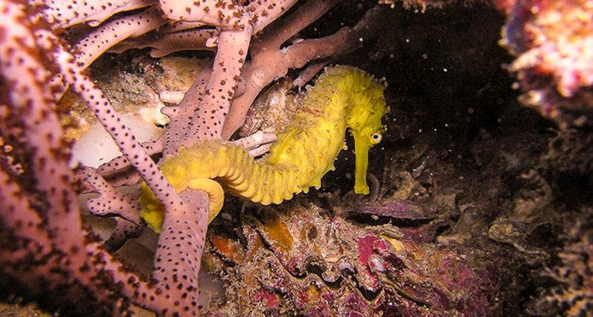 Phi Phi Islands Diving - Ko Bida Nok Sea Horse