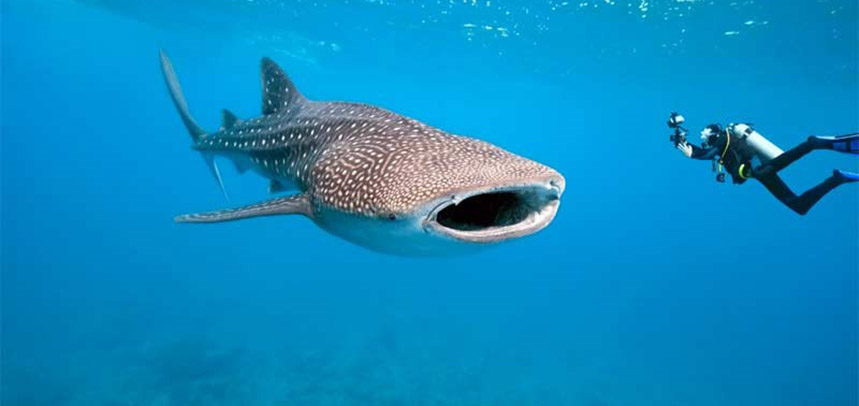 Phuket Wreck diving - Whale shark
