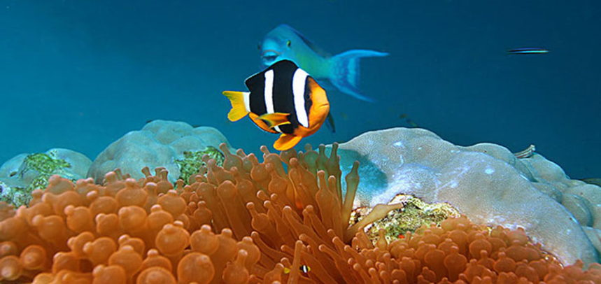 Shark Point diving - clown fish