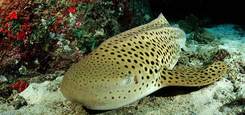Shark Point diving - leopard shark