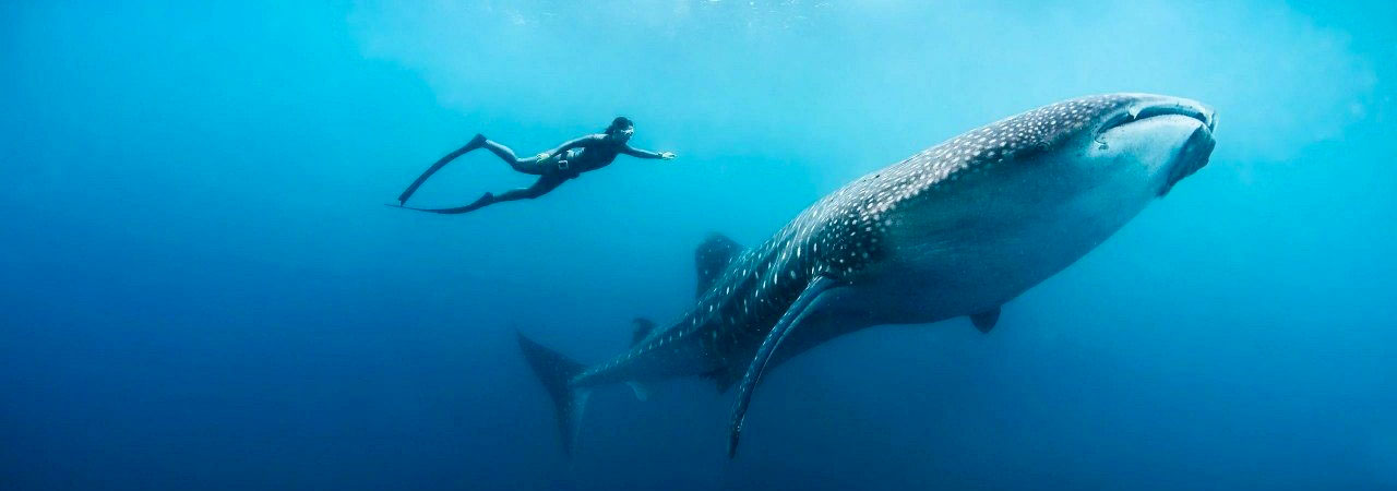 Freediver and Whale Shark in Phuket Thailand - Slider